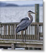 Scruffy Heron Metal Print