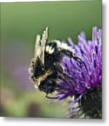 Scrufy Old Bee Metal Print
