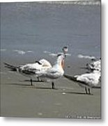 Sea Birds Obx Nc Metal Print