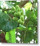 Sea Grape Sgwc Metal Print