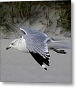 Sea Gull Searching Metal Print