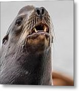 Sea Lion And Yellow Fangs Metal Print
