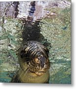 Sea Lion Portrait, Los Islotes, La Paz Metal Print by Todd Winner