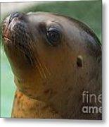 Sea Lion Up Close. Metal Print