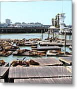 Sea Lions At Pier 39 San Francisco California . 7d14309 Metal Print by Wingsdomain Art and Photography