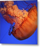 Sea Nettle Jellyfish. Metal Print