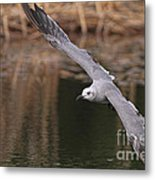 Seagull Seagull On The Move Metal Print