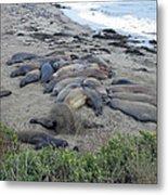 Seal Spa. Sand Bath Metal Print