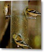 Seed Eating Song Birds Metal Print