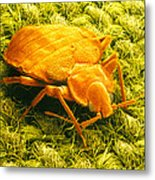 Sem Of A Bed Bug Metal Print