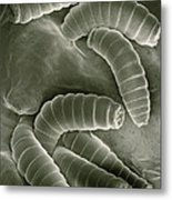 Sem Of Maggots Of The Green Blow Fly Metal Print