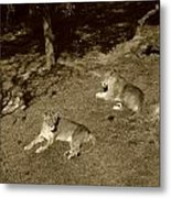 Sepia Lionesses Metal Print