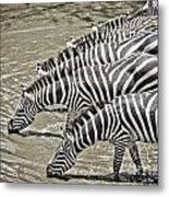 Several Thirsty Zebra Metal Print
