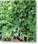 Shadows Of The Sweet Gum Metal Print