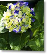 Shadowy Purple And White Emerging Hydrangea Metal Print