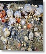 Shaggy Mouse Nudibranchs Metal Print