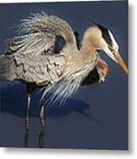 Shaking Out My Tail Feathers Metal Print