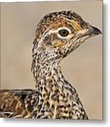 Sharp-tailed Grouse Metal Print