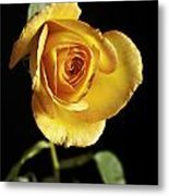 Sharp Yellow Rose On Black Metal Print