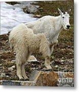 Shedding Mountain Goat Metal Print