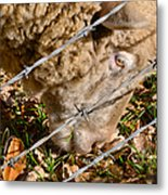 Sheep 1 Metal Print