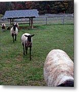 Sheep Feed Time Metal Print