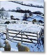 Sheep, Ireland Sheep And A Farm During Metal Print
