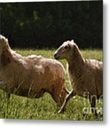 Sheep On The Move Metal Print