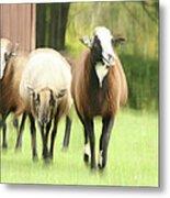 Sheep On The Run Metal Print