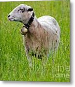Sheep With A Bell Metal Print