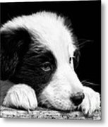 Sheepdog Puppy Looking Out Metal Print by Rory Trappe