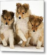 Sheltie Puppies Metal Print by Jane Burton