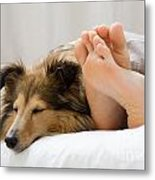 Sheltie Sleeping With Her Owner Metal Print