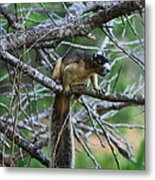 Shermans Fox Squirrel Metal Print