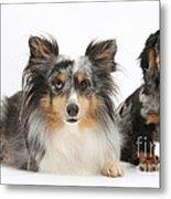 Shetland Sheepdog And Dachshund Metal Print