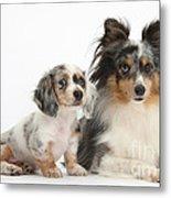 Shetland Sheepdog And Dachshund Puppy Metal Print