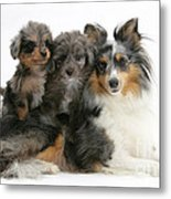 Shetland Sheepdog With Puppies Metal Print