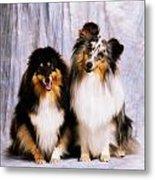 Shetland Sheepdogs Portrait Of Two Dogs Metal Print