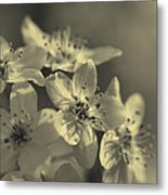 Shimmering Callery Pear Blossoms Metal Print