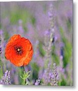 Shirley Poppy In English Lavender Field, Valensole, Valensole Plateau, Alpes-de-haute-provence, Provence-alpes-cote D Azur, Provence, France Metal Print