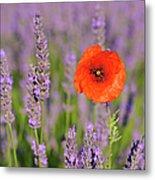Shirley Poppy In English Lavender, Valensole, Valensole Plateau, Alpes-de-haute-provence, Provence-alpes-cote D Azur, Provence, France Metal Print