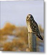 Short-eared Owl, Alberta, Canada Metal Print