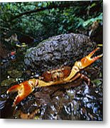 Short-tailed Crab Potamocarcinus Sp Metal Print