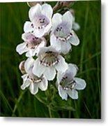 Showy Beardtongue Flower Metal Print