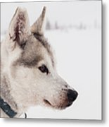 Siberian Husky With Snow Metal Print