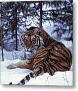 Siberian Tiger Lying On Mound Of Snow Metal Print