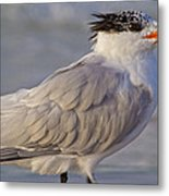 Siesta Key Royal Tern Metal Print