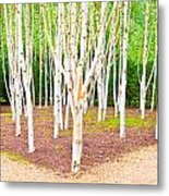 Silver Birch Trees Metal Print