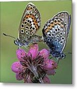 Silver-studded Blue Plebejus Argus Metal Print