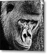 Silverback Gorilla Metal Print